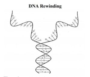DNA Unwinding